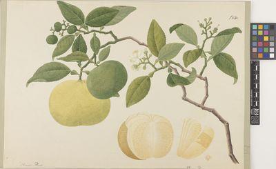 Citrus cover II