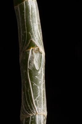 Dendrobium polyanthum Lindl.