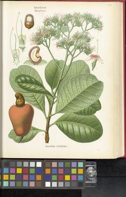 Anacardium occidentale, Köhler