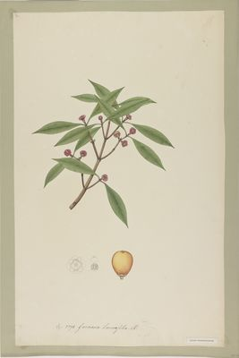 Garcinia lancaefolia R., watercolour on paper