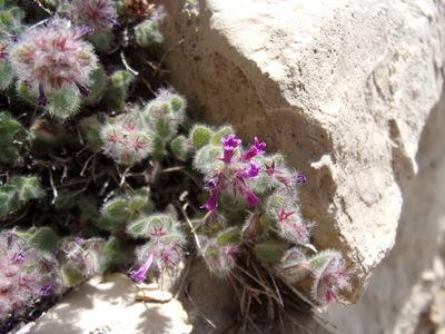 Clinopodium nummulariifolium (Boiss.) Kuntze