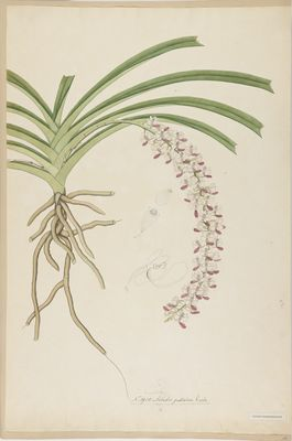 Aerides guttatum Roxb., watercolour on paper