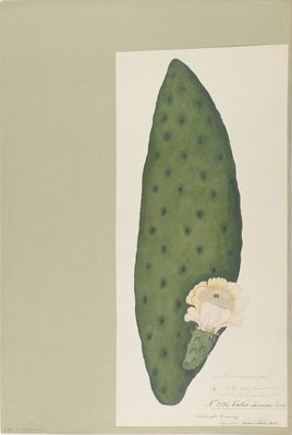 Cactus chinensis R. watercolour on paper
