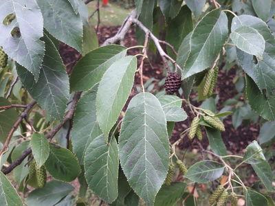 Alnus japonica