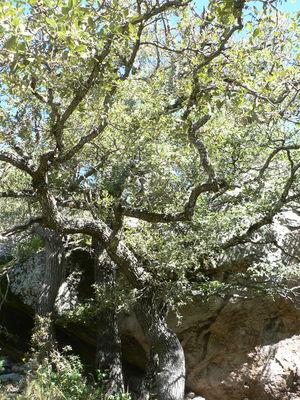 Quercus carmenensis