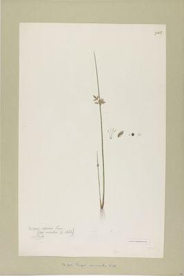 Scirpus mucronatus Linn., watercolour on paper