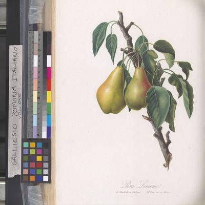 Pomona Italiano, Pera Limone