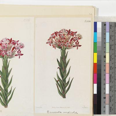 Crassula versicolor published illustration from Curtis's Botanical Magazine
