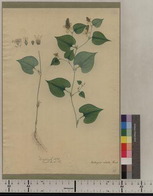 Houttuynia cordata (47)