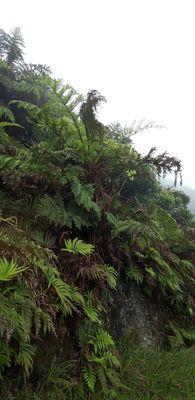 Dicksonia arborescens