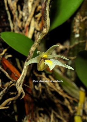 Dendrobium dichrotropis