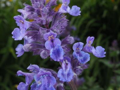 Nepeta × faassenii 'Mussinii'