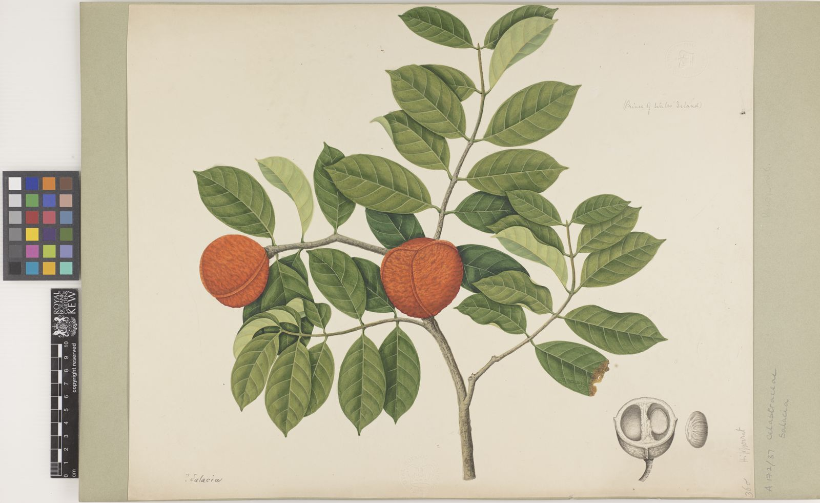Salacia L Plants Of The World Online Kew Science