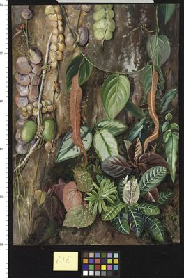 Group of Bornean Plants