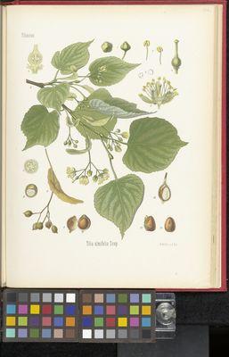 Tilia ulmifolia, Köhler