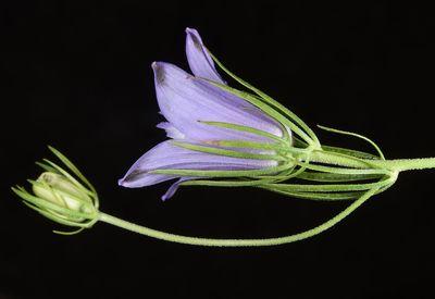 Nigella bucharica