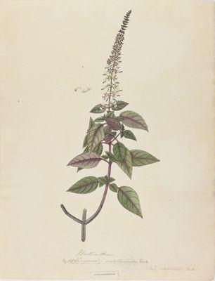 Plectranthus scutellarioides Roxb., watercolour on paper