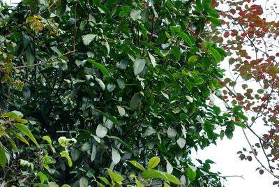 Garcinia paucinervis
