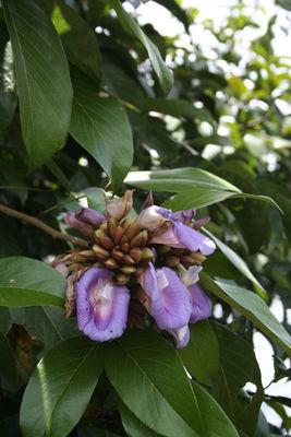 Clitoria amazonum Mart. ex Benth.