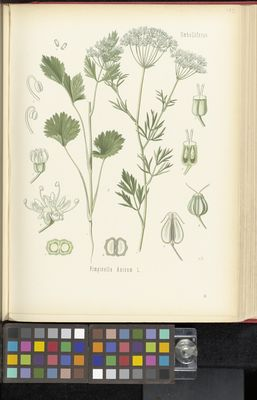 Pimpinella anisum, Köhler