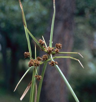 Cyperus L.
