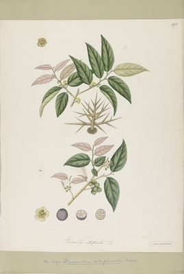 Flacourtia cataphracta Willd., watercolour on paper
