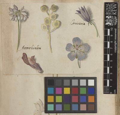 Snapdragon, camapanula, Scedel, Calendarium