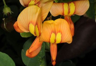 Colutea orientalis
