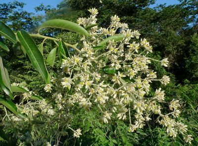 Bredemeyera floribunda Willd.