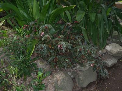 Begonia serratipetala