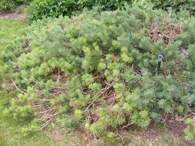 Pinus sylvestris 'Albyns'