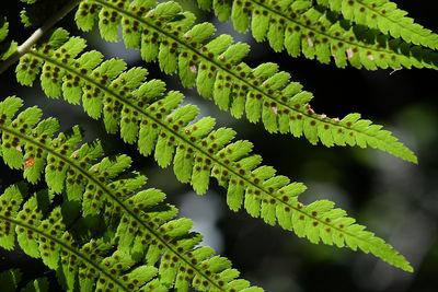 Dryopteris caucasica
