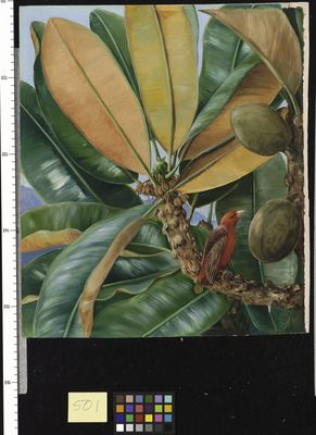 Foliage, Flowers, and Fruit of the Capucin Tree of the Seychelles
