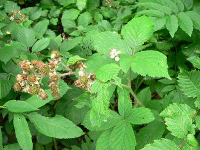 Rubus adscitus