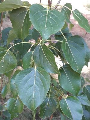 Populus adenopoda