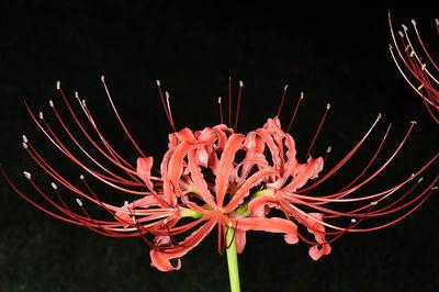 Lycoris radiata