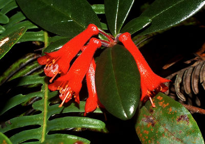 Rhododendron retusum