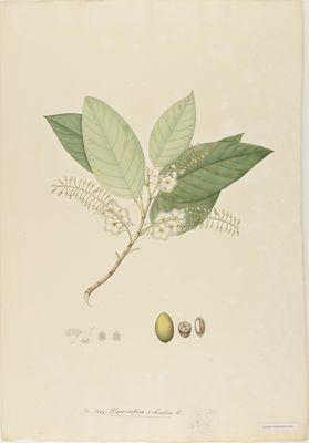 Elaeocarpus rubustus R., watercolour on paper