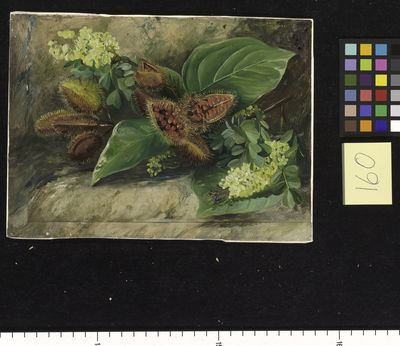 160. Foliage and Fruit of Arnatto and Foliage and J'lowers of
