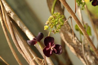 Akebia trifoliata