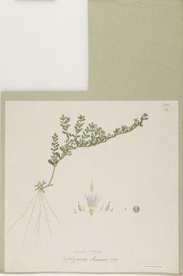 Gratiola monnieria Linn., watercolour on paper
