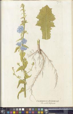 Cichorium intybus (chicory), Plenck