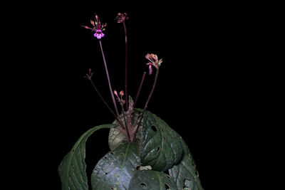 Russelia maculosa