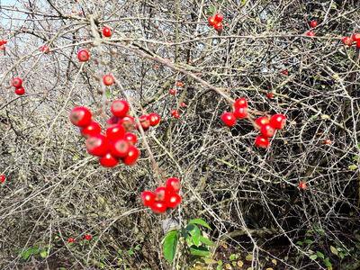 Cotoneaster tenuipes