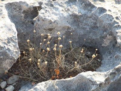 Allium junceum