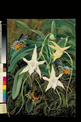 Angraecum and Urania Moth of Madagascar
