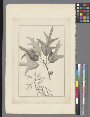 Quercus falcata, pencil and ink on paper