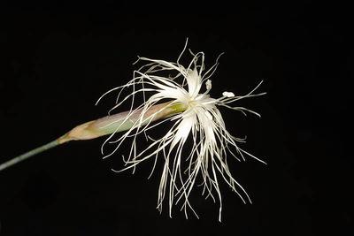Dianthus crinitus