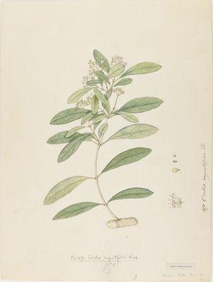 Cordia angustifolia R., watercolour on paper
