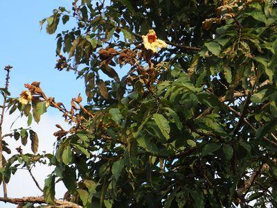 Markhamia stipulata var. kerrii